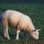 Polimorfismo proteico di latte ovino
