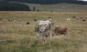 Un allevamento di bovine da latte in alpeggio